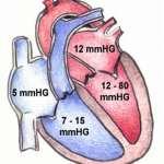 Physiologie Herz, Herzzyklus