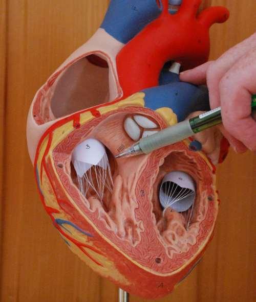 Das Herz-Kreislauf-System – Schlag auf Schlag
