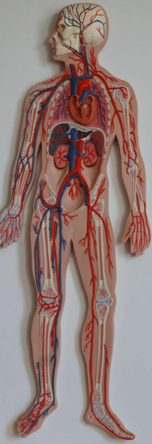 Arterien und Venen - der wesentliche Unterschied