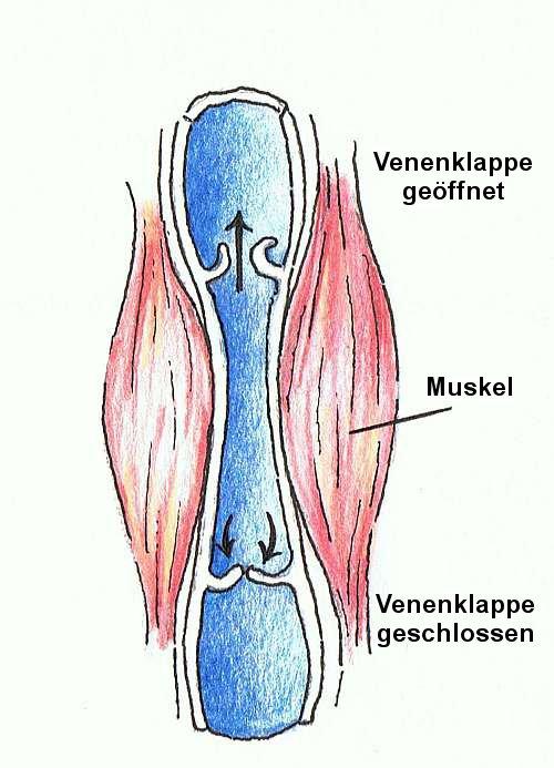 Anatomie der Venen