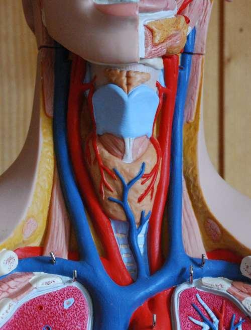 Blutdruckregulation druckrezeptoren in der arteria carottis der Halsschlagader