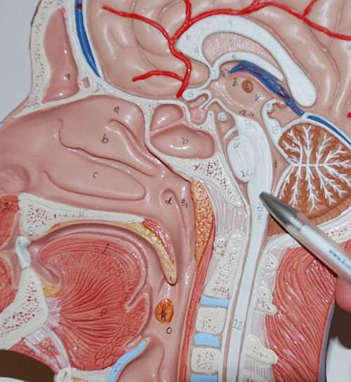 Blutdruckregulation in der medulla oblongata
