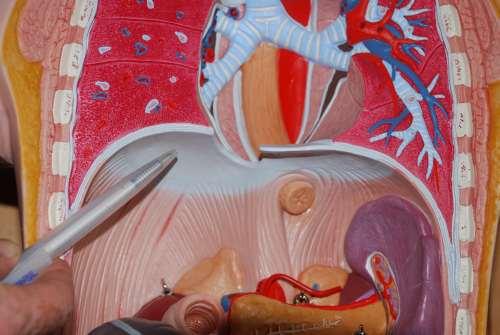 Anatomie Atemmechanik, Aufgabe des Zwerchfells