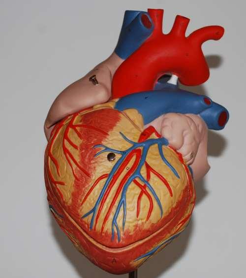 Anatomie Herz, Koronararterien, Herzkranzgefässe, Blutversorgung des Herzens