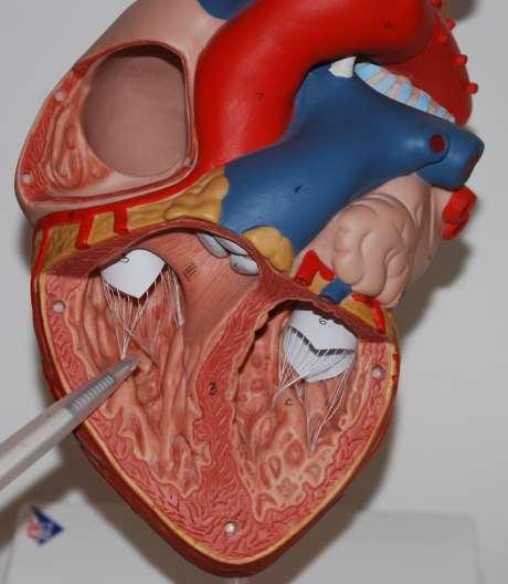 Anatomie Herz, rechte Kammer, Herzkammer, Ventrikel