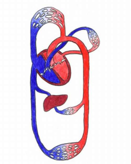 Anatomie Blutkreislaus schematische Darstellung