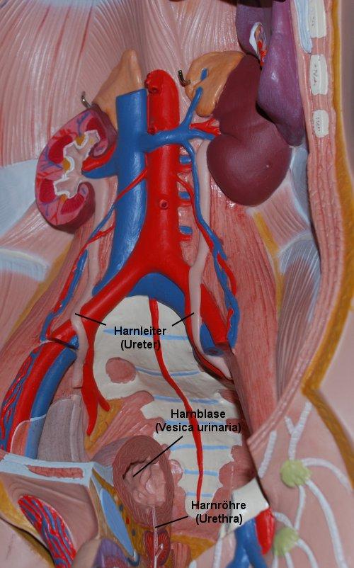 Die Nieren – Ihre Lage im Körper