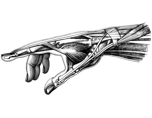 Hand, anatomische Zeichnung, Sehnen